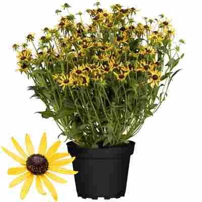 Sonnenhut 'Little Goldstar' gelb 17 cm Topf