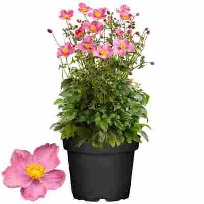 Herbstanemone 'Fantasy Jasmine' rosa 17 cm Topf