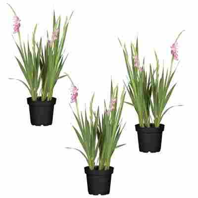 Taglilie rosa 11 x 11 cm Topf, 3er-Set