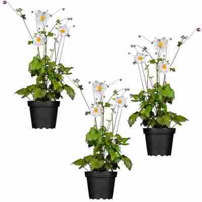Herbstanemone weiß 11 x 11 cm, 3er-Set