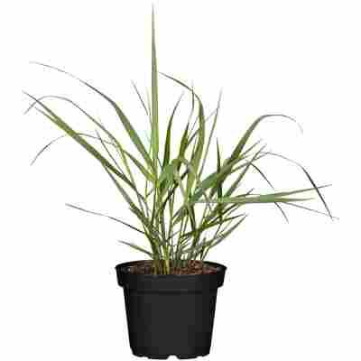 Gräser verschiedene Sorten 11 cm Topf
