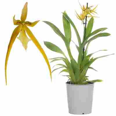 Spinnenorchidee 'Orange Delight' 1 Rispe orange, 12 cm Topf