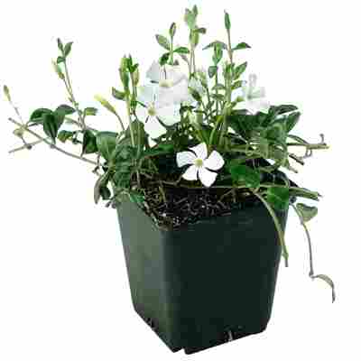 Kleinblättriges Immergrün 'Alba' weiß 9 cm Topf
