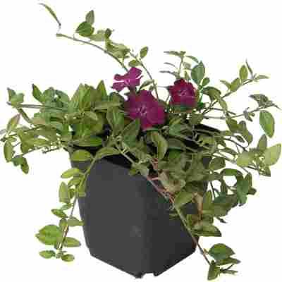 Kleinblättriges Immergrün 'Atropurpurea' violett 9 cm Topf
