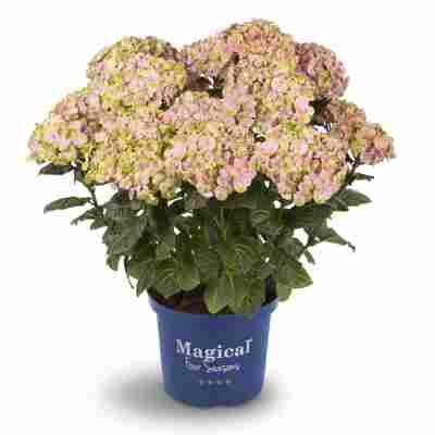 Hortensie 'Magical Collection®' verschiedene Farben 23 cm Topf