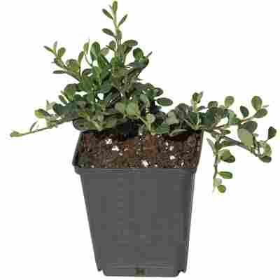 Zwergmispel 'Frieders Evergreen' weiß 9 cm Topf