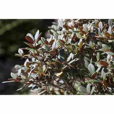 Rhododendron 'Burletta' rot 25 cm Topf
