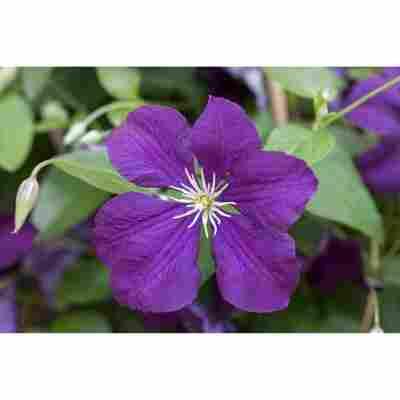 Waldrebe 'Etoile Violette', 14 cm Topf
