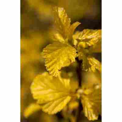 Gelbe Blasenspiere 'Darts Gold', 19 cm Topf