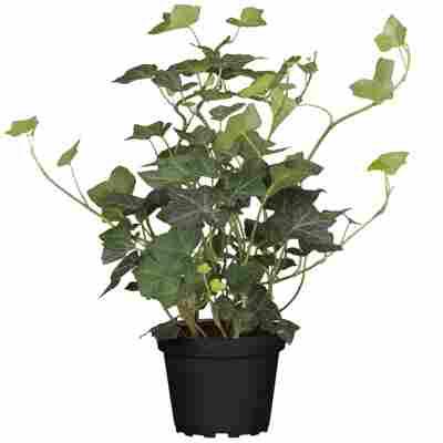 Efeu grüne Sorten 13 cm Topf