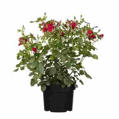 Rosenbusch verschiedene Farben 23 cm Topf