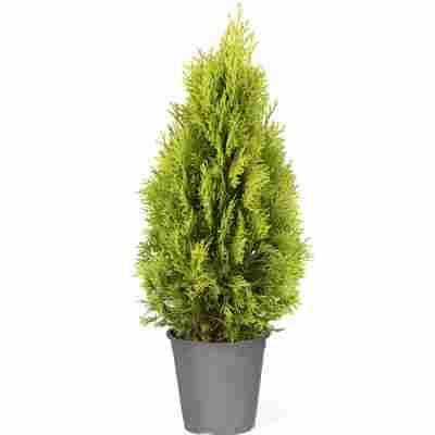 Lebensbaum 'Golden Smaragd®' 60-70 cm 19 cm Topf