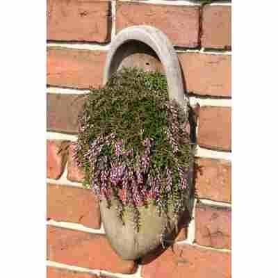 Knospenheide 'Gardengirls® hängend', 13 cm Topf