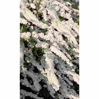 Schneespiere 'Grefsheim', 19 cm Topf