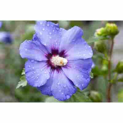 Garteneibisch blau, 19 cm Topf