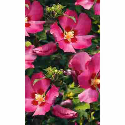 Garteneibisch rosa, 19 cm Topf