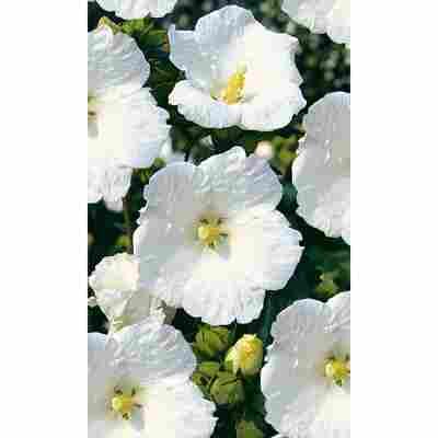 Garteneibisch weiß, 19 cm Topf