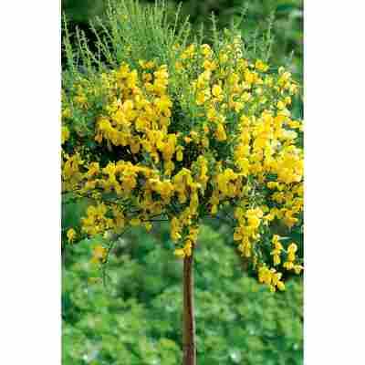 Besenginster gelb, 17 cm Topf
