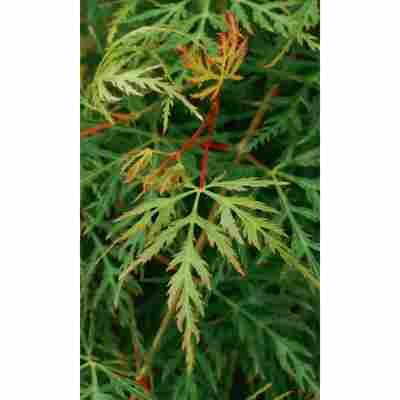 Fächer-Ahorn 'Emerald Lace', 19 cm Topf