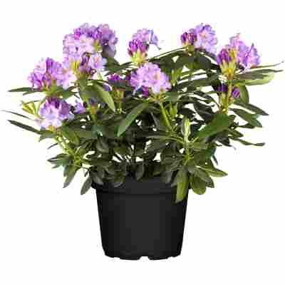 Rhododendron 'Catawbiense Grandiflorum' blau/lila 23 cm Topf