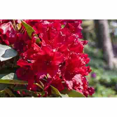 Rhododendron 'Nova Zembla' rot 23 cm Topf