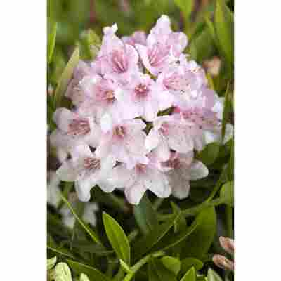Rhododendron 'Nugget by Bloombux®', 10,5 cm Topf