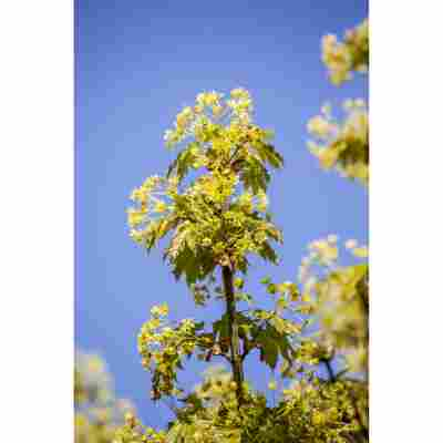 Kugelahorn 'Globosum', 40 cm Topf
