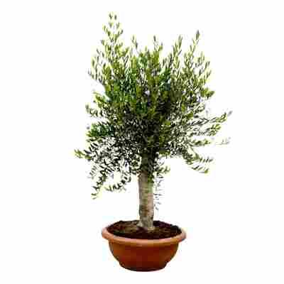 Olive Stamm, 60 cm Schale