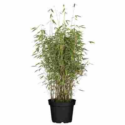 Gartenbambus 29 cm Topf