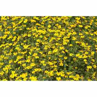 Fünffinger Strauch Gelb, Topf 19
