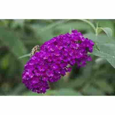 Schmetterlingsflieder violett 19 cm Topf