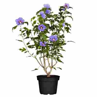 Hibiskus blau 19 cm Topf