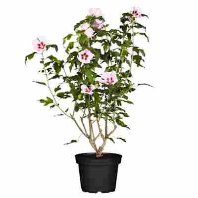 Hibiskus rosa 19 cm Topf