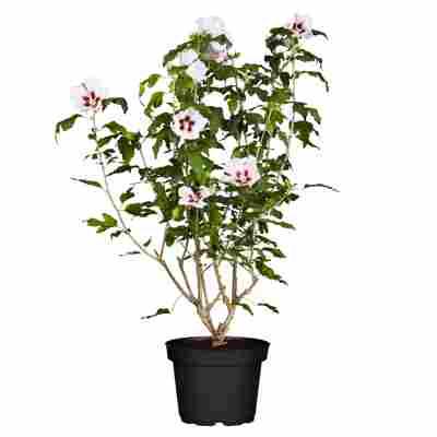 Hibiskus weiß-rot 19 cm Topf