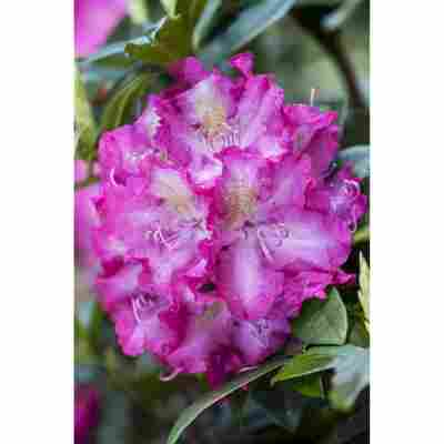 Rhododendron 'Alfred', 23 cm Topf