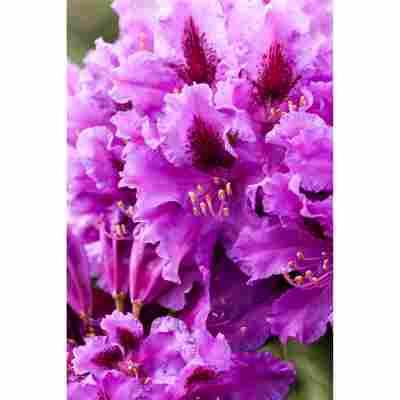 Rhododendron 'Azurro', 23 cm Topf