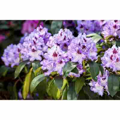 Rhododendron 'Blue Peter', 23 cm Topf