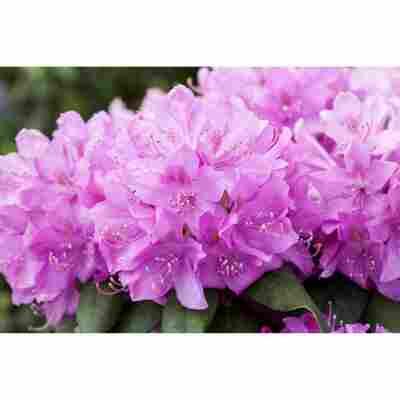 Rhododendron 'Catawbiense Boursault', 23 cm Topf