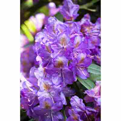 Rhododendron 'Lee's Dark Purple', 23 cm Topf