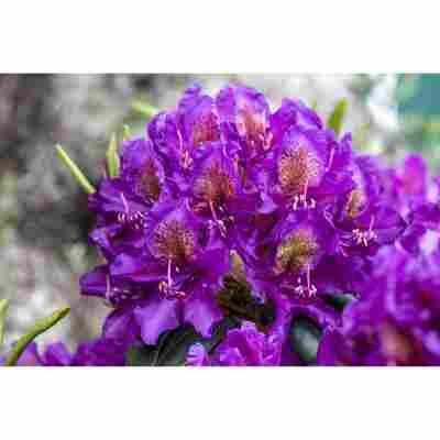Rhododendron 'Marcel Menard', 23 cm Topf