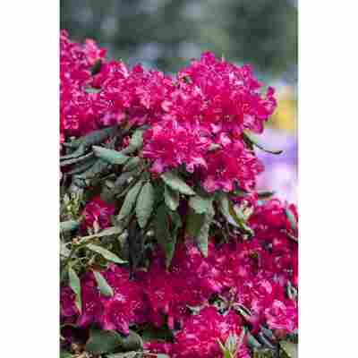 Rhododendron 'Old Port', 23 cm Topf