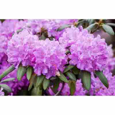 Rhododendron 'Roseum Elegans', 23 cm Topf