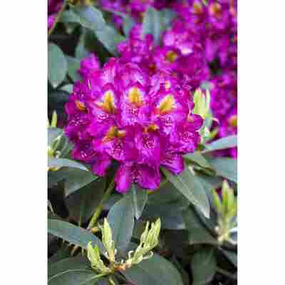 Rhododendron 'Tamarindos', 23 cm Topf