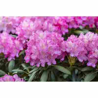 Rhododendron 'Anastasia®', 23 cm Topf