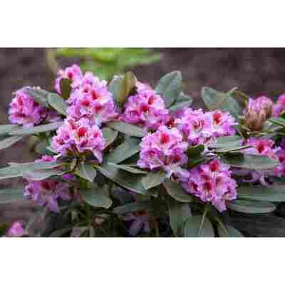 Rhododendron 'Belami®', 23 cm Topf