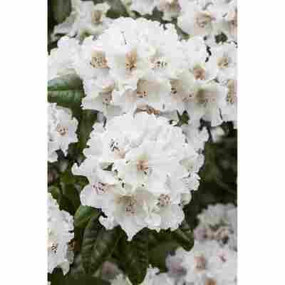 Rhododendron 'Bellini', 23 cm Topf