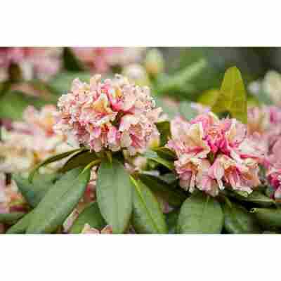 Rhododendron 'Brasilia', 23 cm Topf