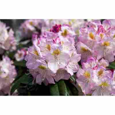 Rhododendron 'Brigitte', 23 cm Topf