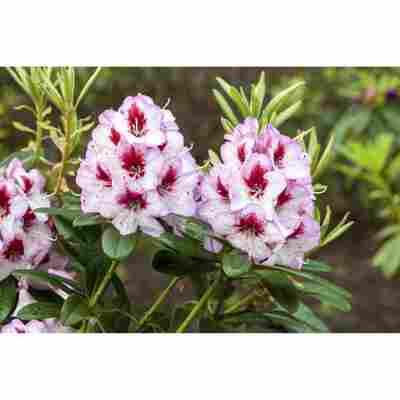 Rhododendron 'Cassata', 23 cm Topf