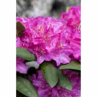 Rhododendron 'Catharine van Tol', 23 cm Topf